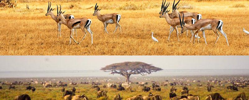 Padang Savana di Baluran dan Serengeti