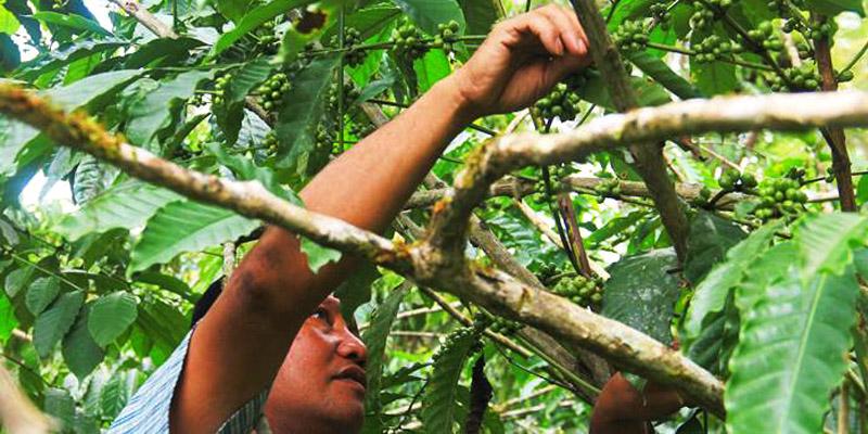 Pecinta Kopi Sejati, Wajib ke Kopi Robusta Pinogu, Kabupaten Bone